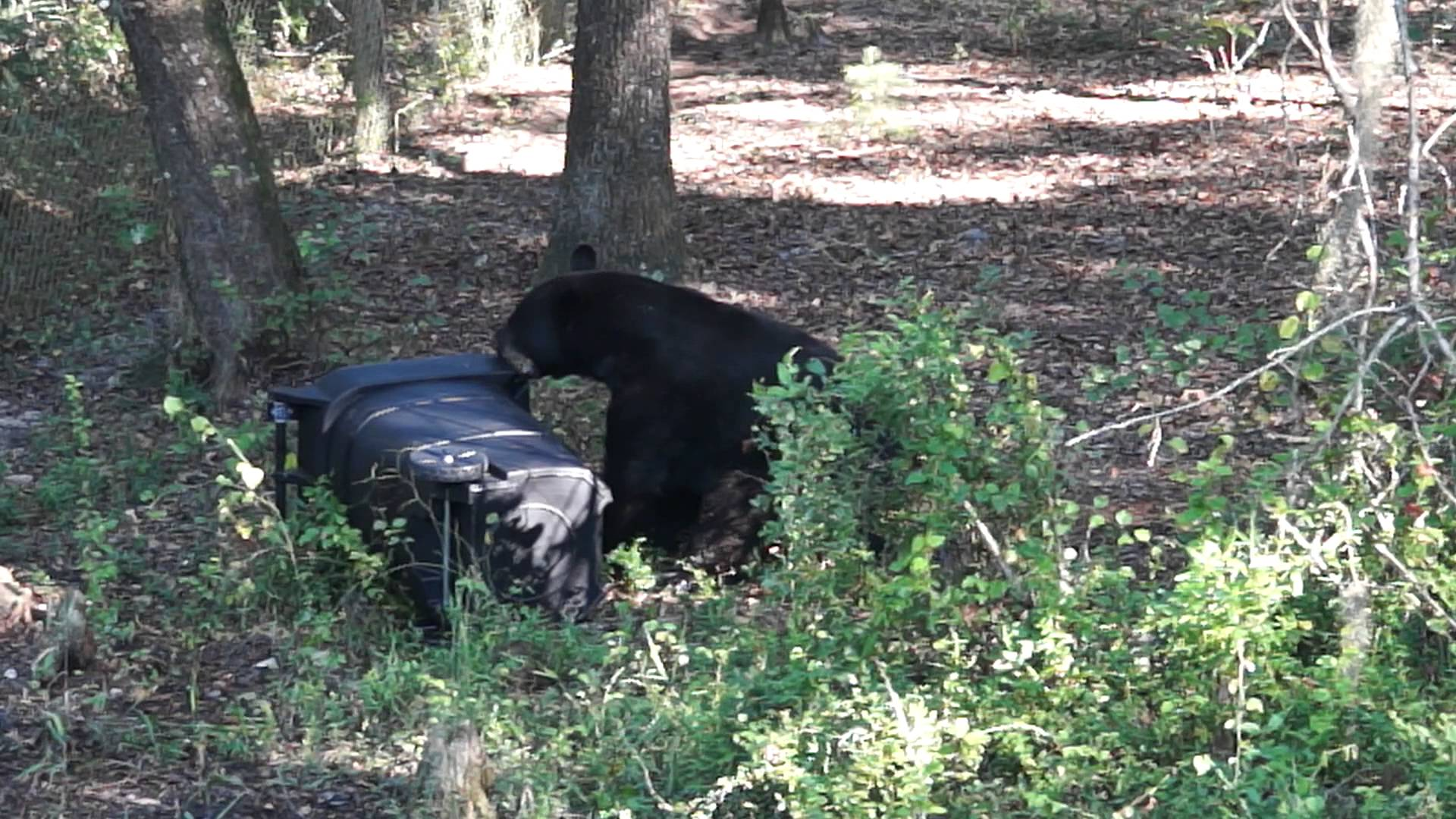 Black bear with overturned garbage can
